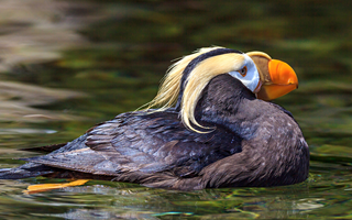 Tufted Puffin, Russia